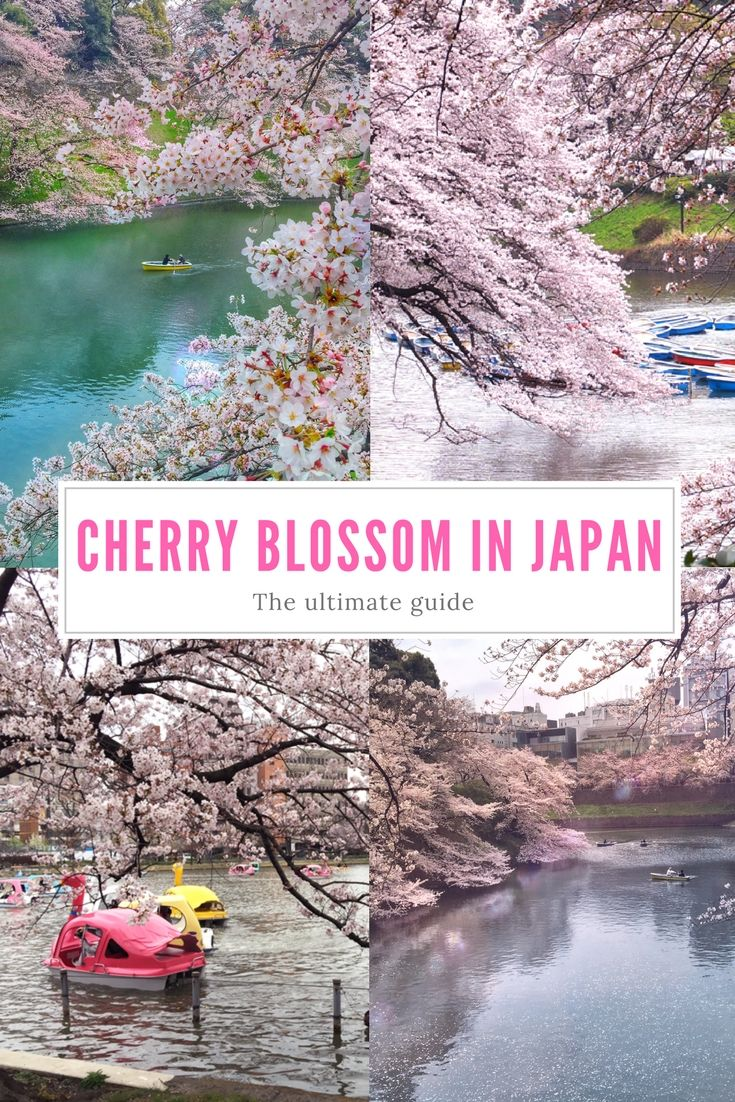 The ultimate guide to cherry blossom in Japan - Where life is great!