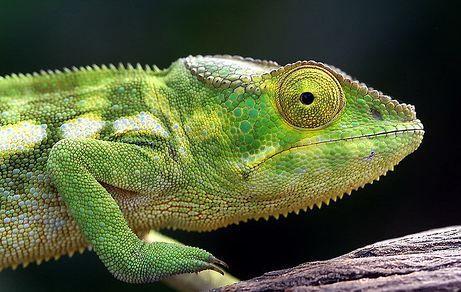 How Long do Chameleons Live