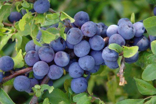 Schlehe / Schwarzdorn - Prunus spinosa