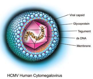 El Citomegalovirus (CMV) es un HERPESVIRUS. Presentan envuelta que la adquieren de la membrana nuclear, cápside icosaédrica y genoma DNAds lineal. Éste presenta RNAm en su interior. Replica en fibroblastos, células epiteliales y leucocitos. Latencia en linfocitos. Transmisión sexual, sanguínea y por transplantes. Principal causa de enfermedad viral congénita. Causa un sindrome mononucleósido con Ac heterófilos negativos. #CMV #herpesvirus #citomegalovirus