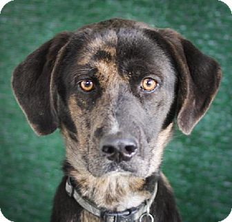 Pretty Girl - Great Dane/Catahoula Leopard Dog mix - Adult - Female - Wolfe City, TX - Commerce Humane Association - http://www.barchardshelter.org http://www.adoptapet.com/pet/10166515-wolfe-city-texas-great-dane-mix https://www.facebook.com/FrankBarchardMemorialShelter