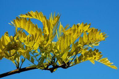 Sunburst Honey Locust Trees: Picture: Sunburst honey locust leaves in June, zone 5.