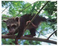 El coatí tiene hábitos tanto diurnos como nocturnos, lo cual le permite una fácil adaptación al medio.