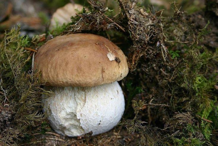 Dove e come nascono i funghi porcini? Conosciamo le particolarità botaniche che li differenziano dalle altre specie e qual è il loro habitat ideale.