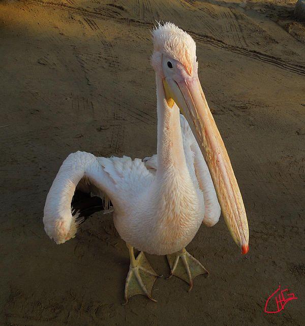 Nuweiba Beach  Pelican Sinai Egypt Photography Colette  H. Guggenheim