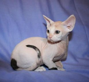 Devon Rex. The only cat breed I would ever own.