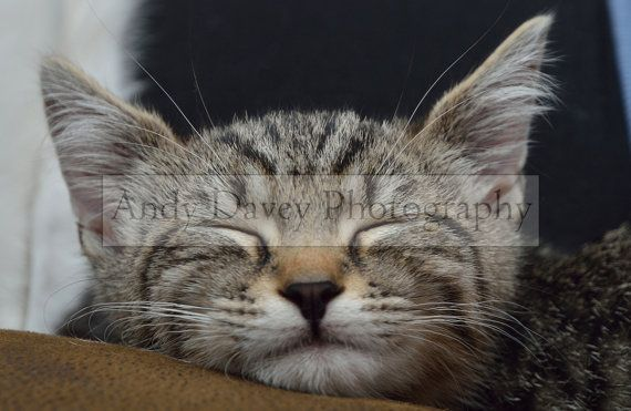 Sleeping grey tabby kitten photo pet by AndyDaveyPhotography