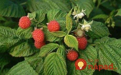 Zberáte len plody a listy si nevšímate? Toto vedeli o malinových listoch naše babičky a radia to aj vám!