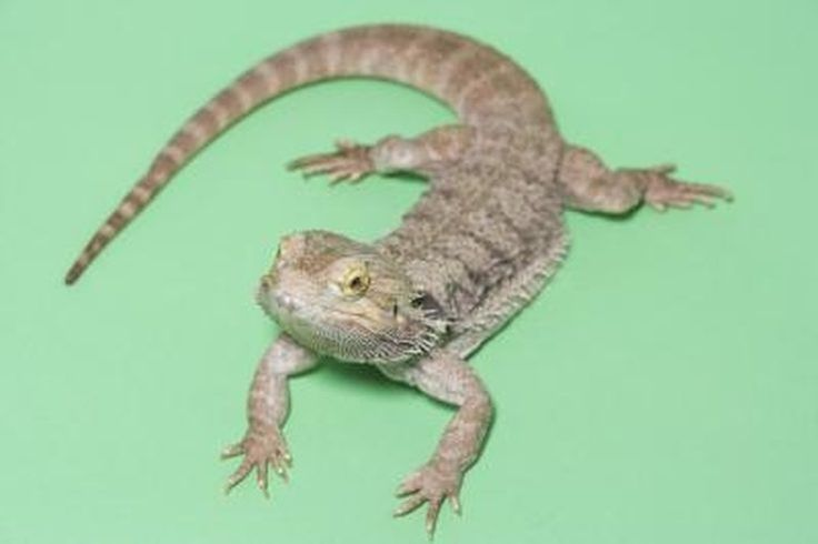 Bearded dragons are friendly, docile, large lizards that are among the most popular reptile pets. Though they are diurnal, which means they are primar...