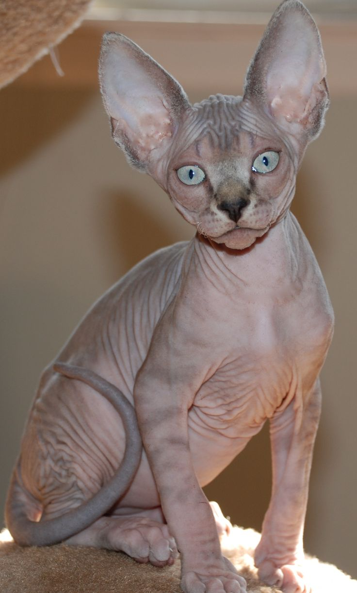 Célèbre 211 best Mr. Kitaly & friends images on Pinterest | Hairless cats  WK58