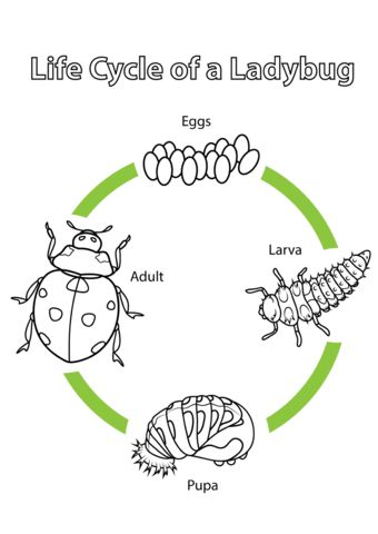 Life Cycle of a Ladybug coloring page from Biology category. Select from 20946 printable crafts of cartoons, nature, animals, Bible and many more.