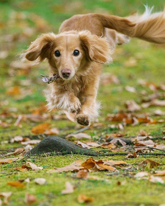 フライングドッグ 秋ver. 紅葉が見頃の地元へ 生憎の天気☁️だったので実家にいる愛犬🐕を連れて近所の広場へお散歩&撮影📷😊 撮影日 11月4日 🐕 📷 🐕 #紅葉 #見頃 #秋空 #犬 #愛犬 #ペット #ミニチュアダックスフンド #信州 #長野県 #広場 #落ち葉 #空中犬 #ジャンプ #お散歩 #autumnleaves #dog #dogstagram #jump #flying #flyingdog #sony #α99ⅱ #miniaturedachshund #nagano #fallenleaves #animal