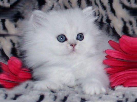 BEAUTIFUL WHITE KITTEN AMONG RED