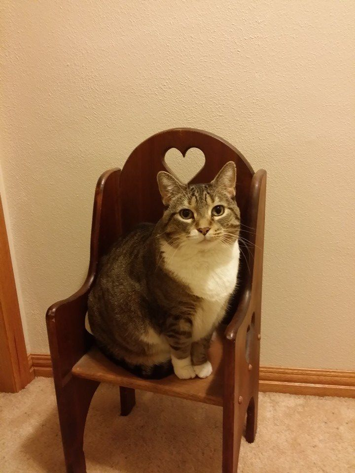 Neenah (WI) United States  city photo : Back Home Cat American Shorthair Neenah, WI, United States 54956