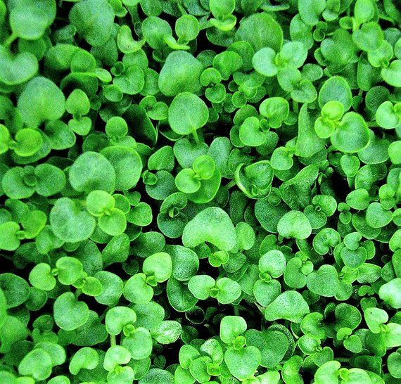 20 Corsican Mint Mentha Requienii Herb Fragrant Ground Cover