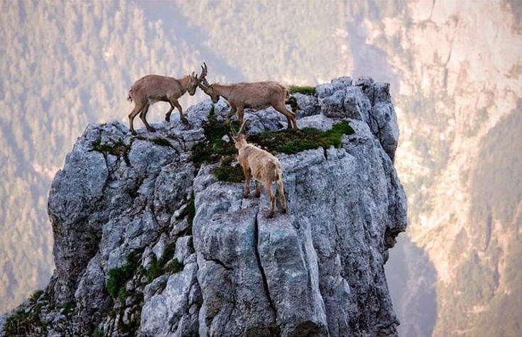 Горные козлы — просто чумовые создания! (20 фото)