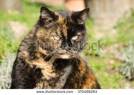 Portrait of european calico cat in the garden. #Cat #Pet #Animal #Feline #Calico #European #Domestic #Portrait #Female