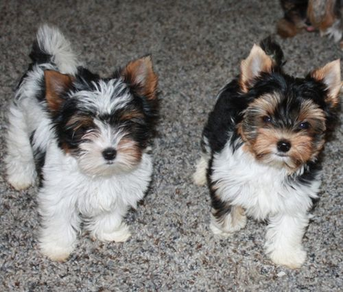 PUPPIES!  Check out more cute puppies at our Facebook page! www.Facebook.com/BeautifulPuppiesOnline