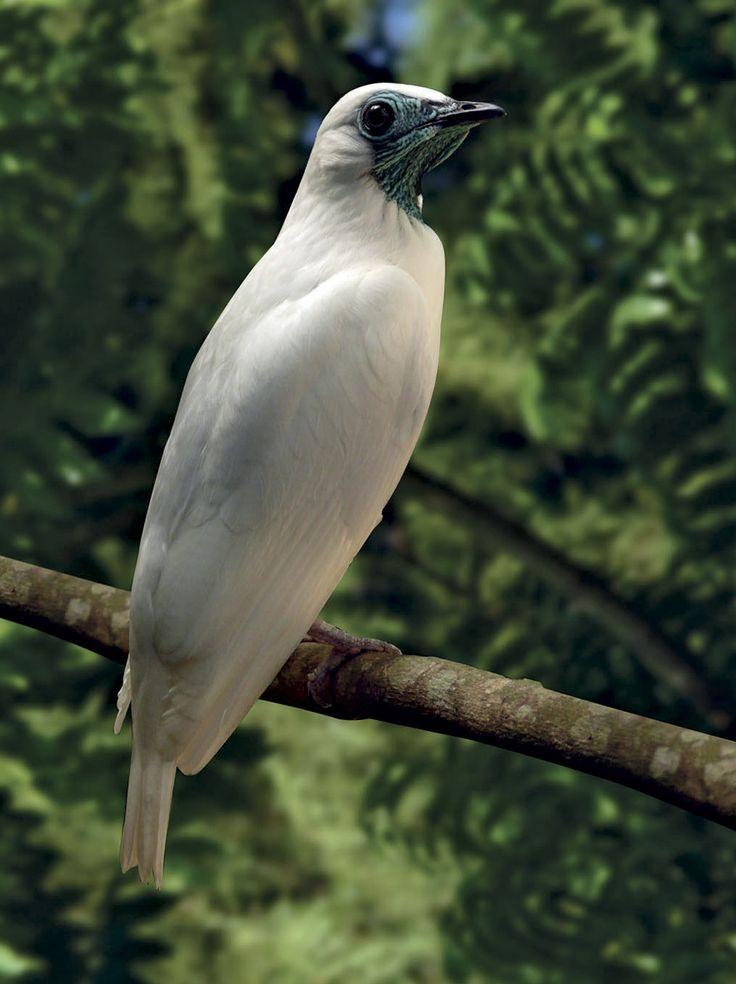 """Enquanto caminha por uma das trilhas do Viveiro Manequinho Lopes, no Parque Ibirapuera, na capital paulista, a bióloga Anelisa Magalhães procura por uma visitante frequente que, naquela manhã chuvosa de abril, ainda não havia aparecido. """"Ali está, toda encolhida"""", diz, com entusiasmo, ao avistar a coruja no alto de uma árvore. A ave representa uma das 1.113 espécies de animais silvestres que habitam praças, parques e outras áreas verdes da cidade de São Paulo. Esse contingente foi registrado…"""