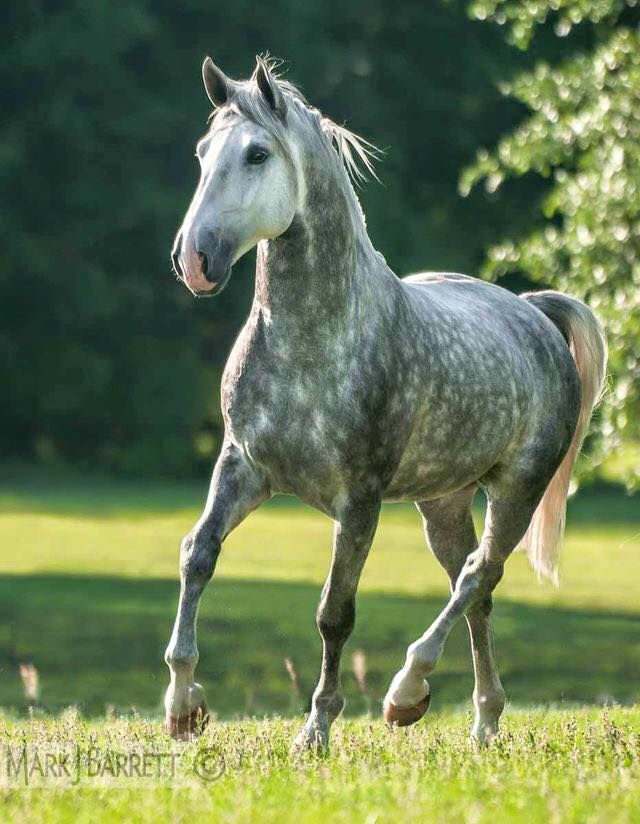Gorgeous dapple grey horse running in the pretty green grass.