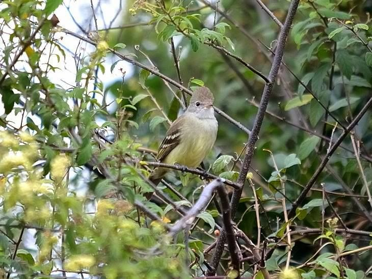 Visitante na Pousada dos Chás em Jurerê - Floripa (Pássaro Risadinha)