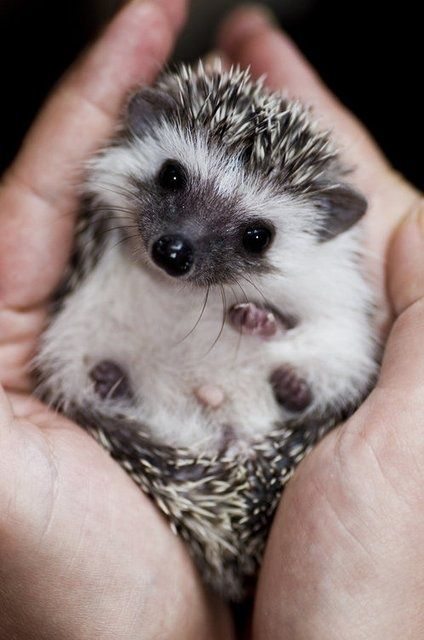 """Here's lookin' at you, kid"" #hedgehog #baby so cute"
