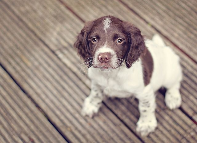 English Springer Spaniel Puppy - Flint.