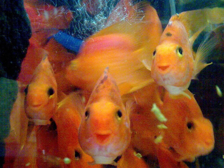 Blood parrots smiling fish for Parrot fish facts