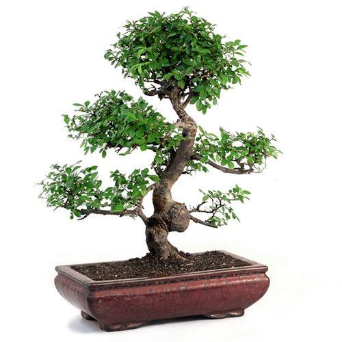 25 best chinese elm bonsai ideas on pinterest bonsai for Cool bonsai tree