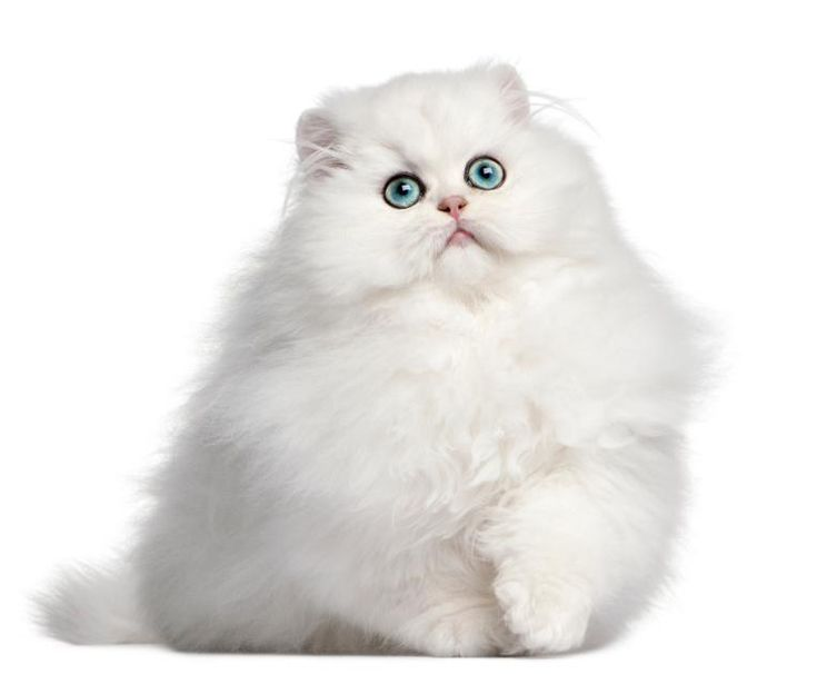 What Are the Most Popular Cat Breeds? [Slideshow] --- Persian