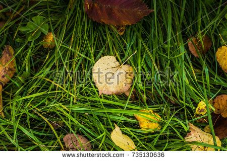 Fallen leaves of yellow color on the grass.