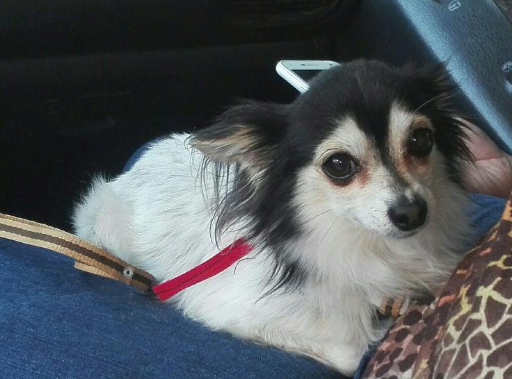 Mi precioso Chihuahua de pelo largo Máximus. My sweet baby 💕