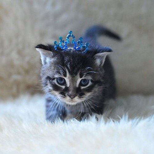 86 best images about cats in crowns on Pinterest | Tabby cats, Cats and Crown art