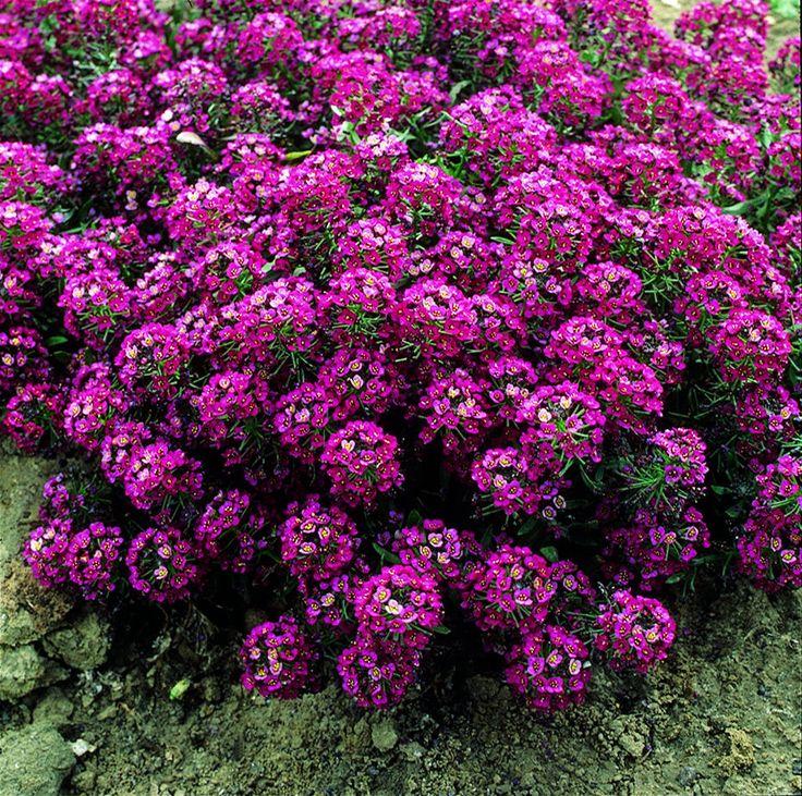 Alyssum Purple Aprilc Lobularia Maritima Plants