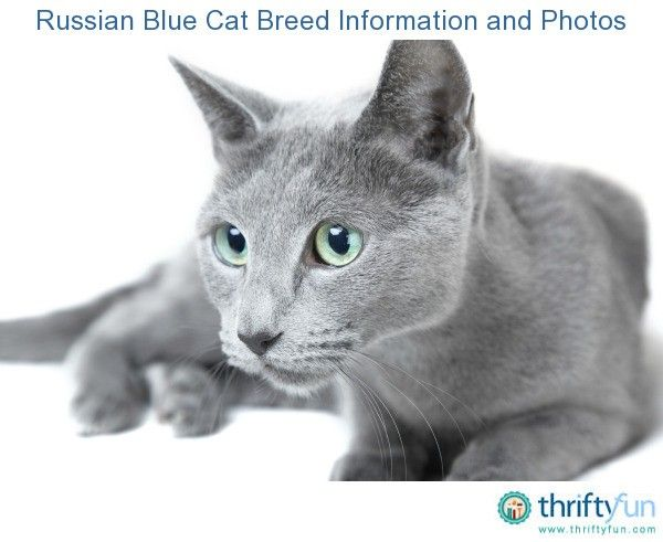 Russian Blue Cat Breed Information And Photos Blue Cats Russian Blue Cats And Kittens