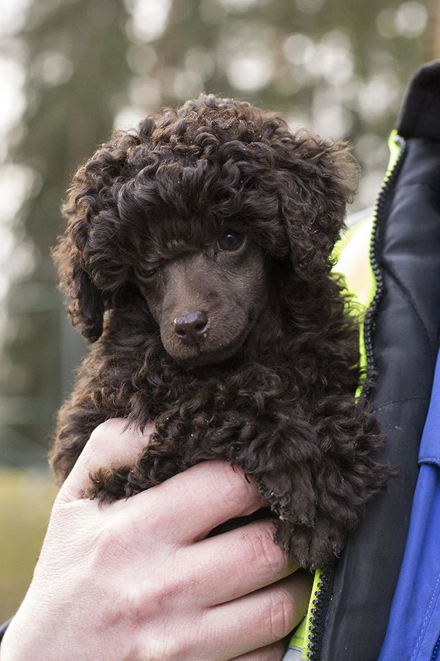 domovoyshka: My friend has the cutest poodle puppy of all times.
