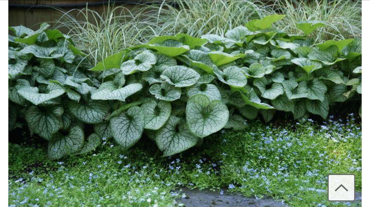 variegated japanese sedge (grass), Heart-leaf brunnera, Little Bluestar, for a shade garden