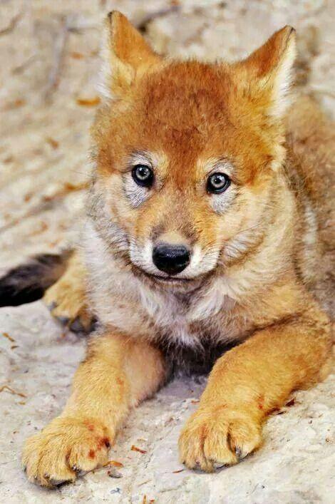 Red wolf cub