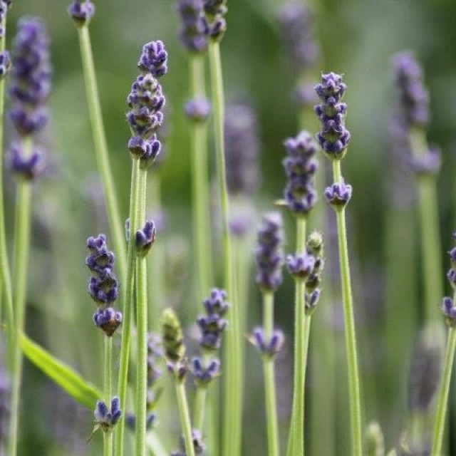 Lavender blue, dilly dilly, lavender green... (By Marjo Meyvogel)