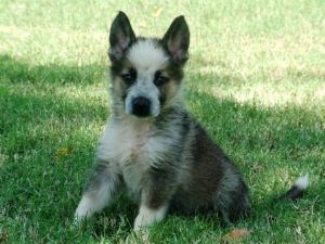 German Shepherd Dog Puppies For Sale: GERMAN SHEPHERD PANDA