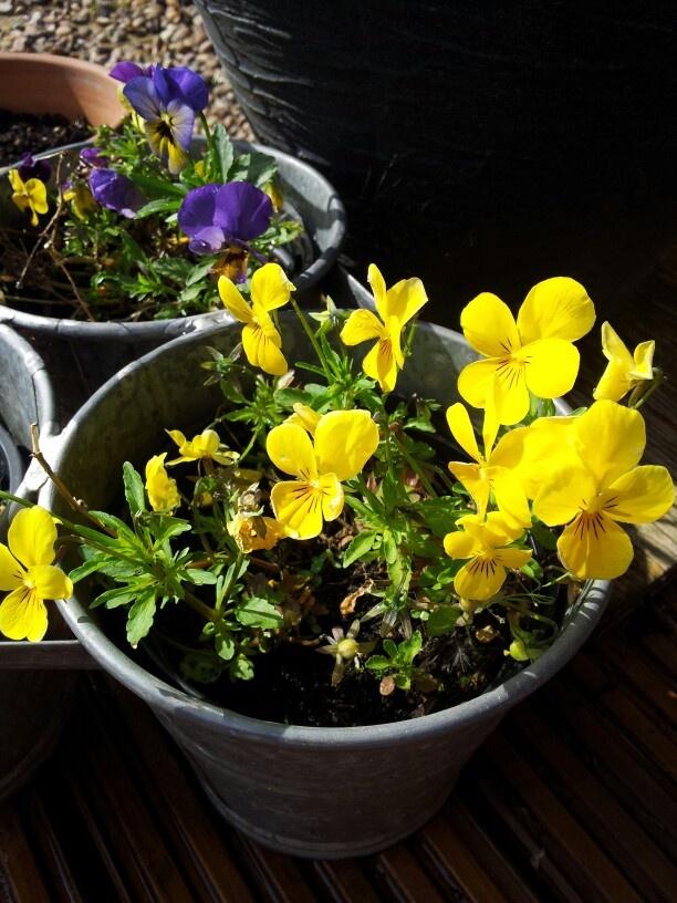 Bright yellow viola