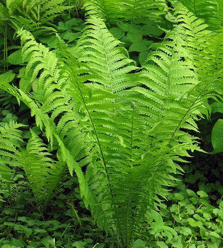 Matteuccia Struthiopteris - Shuttlecock or Ostrich Feather Fern - pinnate fronds taper at both ends and grow in a vase like cluster around robust rootstock.