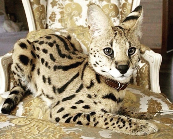 Savannah kitten Savannah cat African serval