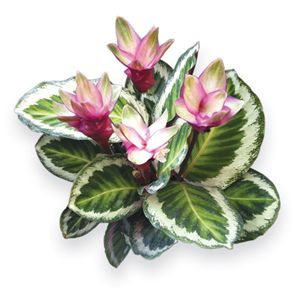 """Holiday Peacock Plant (Calathea x """"Holiday"""")  The """"Holiday Peacock Plant"""" is a stunning new hybrid with raspberry-red flowers that bloom continuously once the plant reaches 18"""" tall. These blossoms are more beautiful than any other Calathea on the market today. Grow  close to a window inside, where it can get some indirect sunlight throughout the day. Keep the soil moist and do not allow it to dry out between waterings. Everbloomer."""