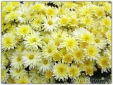 growing mums as perennials