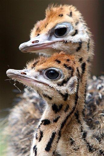 Ostrich chicks Amazing World beautiful. Amazing.