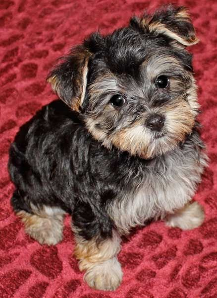 Morkie Puppy for Sale in Boca Raton, South Florida