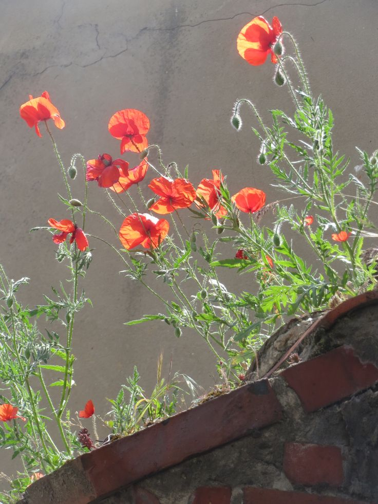 Poppies on the wall.