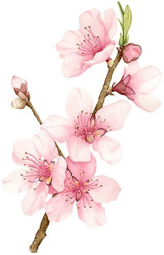 Peach Blossom - Allison Langton watercolor and pencil
