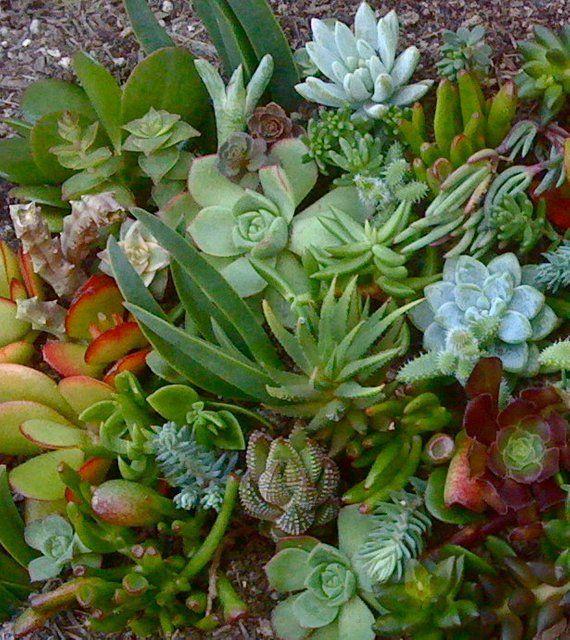 300 Succulent Cuttings Succulent Wedding Favors Wholesale